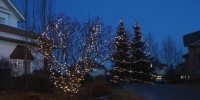 c6-led-warm-white-on-spruce-trees-and-globe-wrapped-shrub