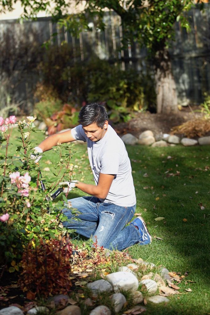 yard maintenance pruning rose bush